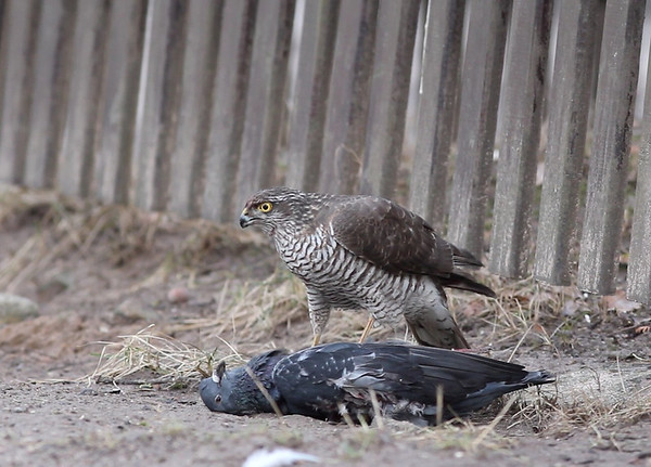 Raudkull einestamas  Sparrowhawk having dinner