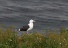 Great Black-backed Gull, Larus marinus. Hornoya island, Barents Sea.