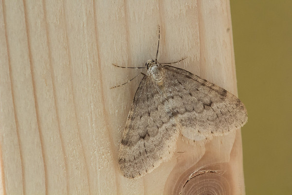 Northern Winter Moth, Operopthera fagata