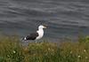 Great Black-backed Gull, Larus marinus. Hornoya island, Barents Sea.