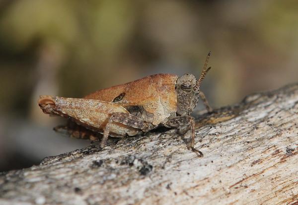 Täpiksirts, Tetrix bipunctata