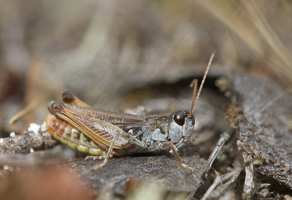 Tähniktirts, Myrmeleotettix maculatus